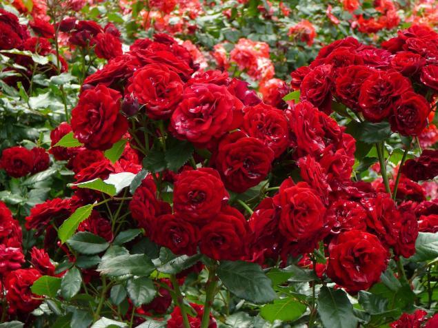 以防止锈病,白粉病和胶粘玫瑰大方式