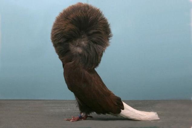 admirar la belleza de las mas raras palomas de fantasia bueno donde