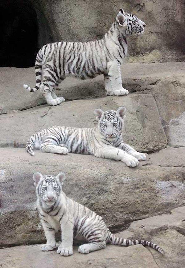 бенгальский тигр красная книга фото