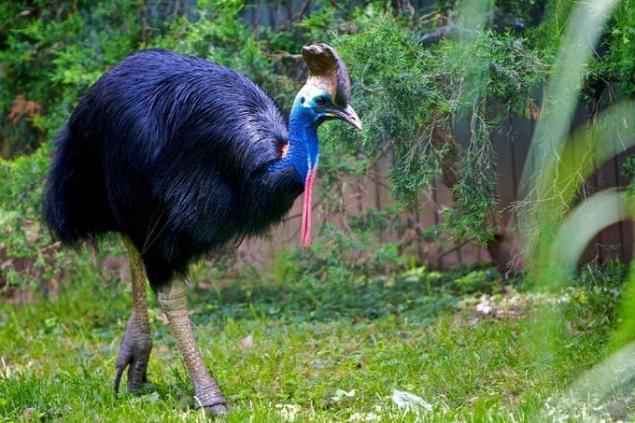 Cassowary - included in the Guinness Book of Records as ...