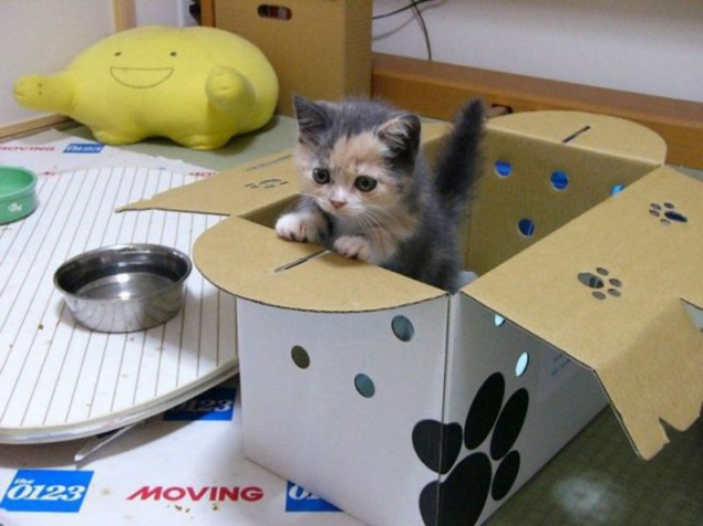 bengal kittens adoption illinois