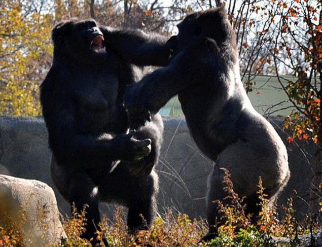 Это кадры борьбы за власть, которую устроил 12-летний самец гориллы в Детро