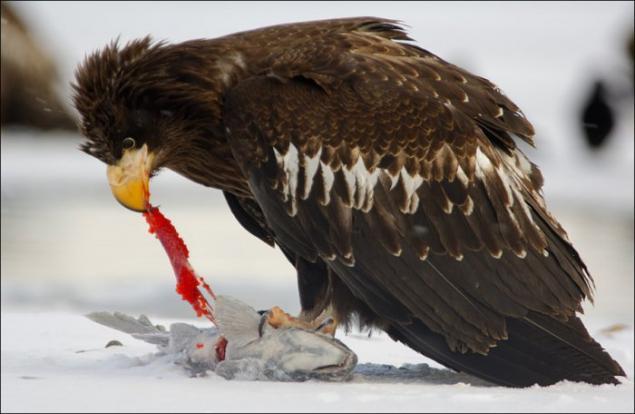 the eagle winter