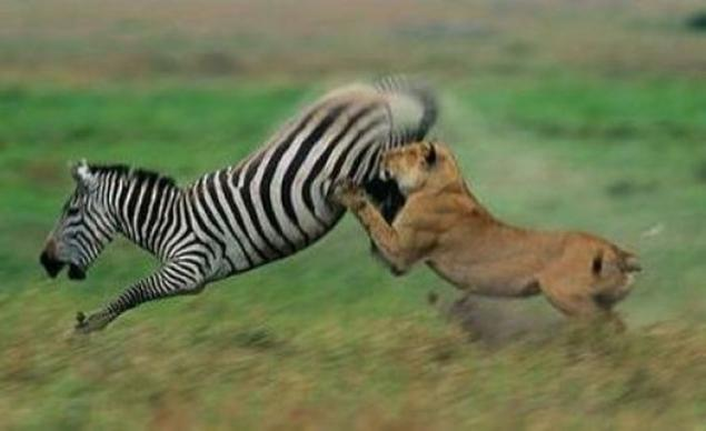 The Attack On The Zebras (11 Photos). Page 1