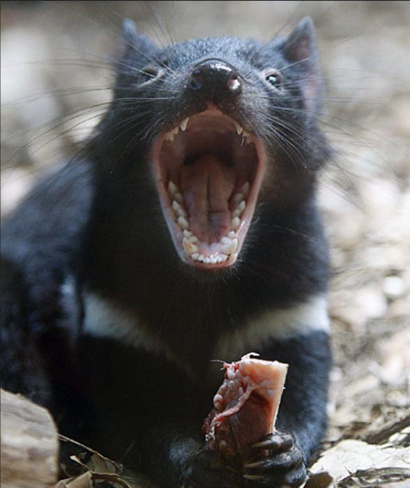 Resultado de imagen de demonio de tasmania real