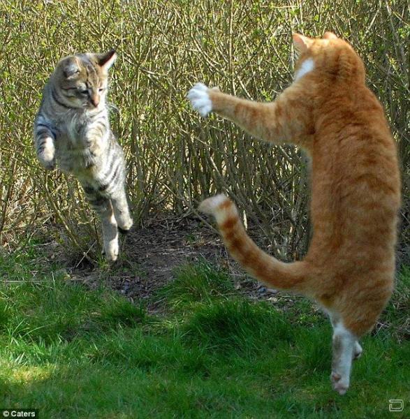 Шаолинь кот учит котят боевым искусствам .