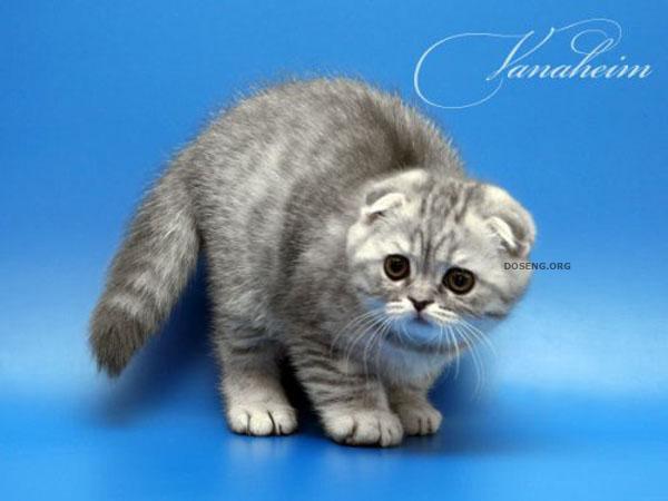 прикольные фото котят вислоухих