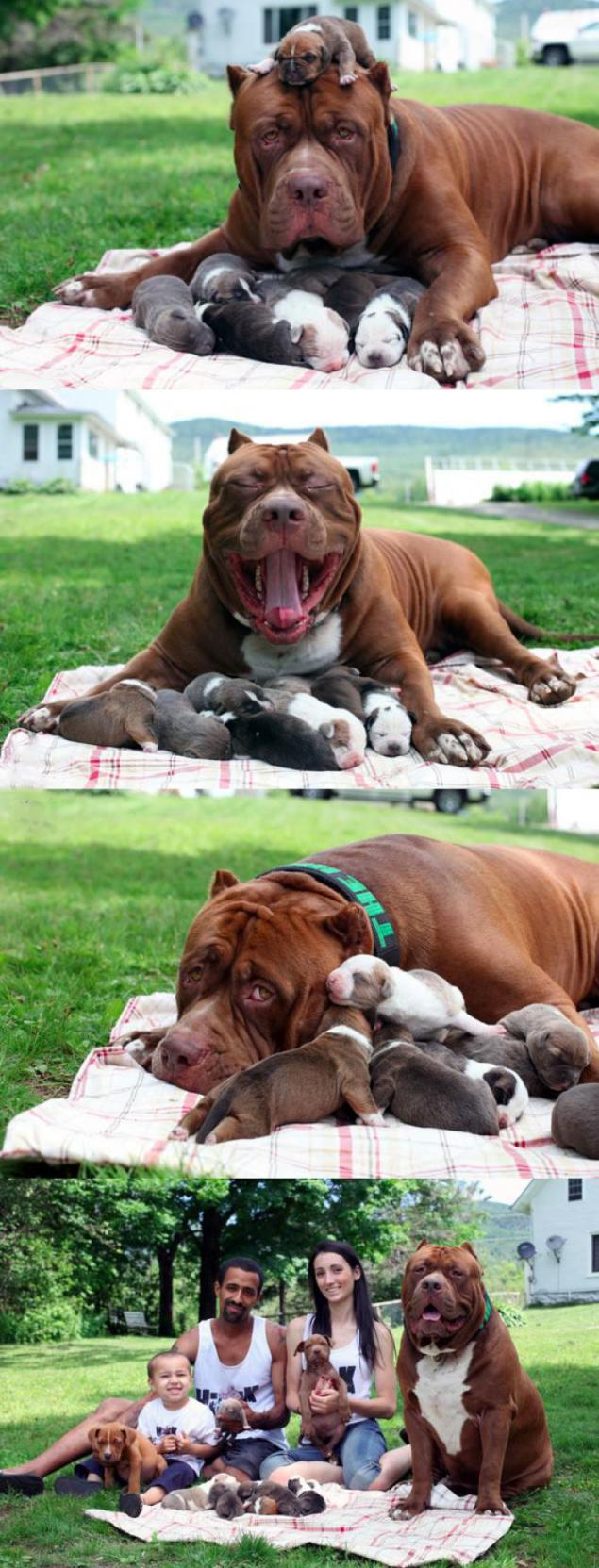 Largest Pitbull large families in the world became Pope  Page 1