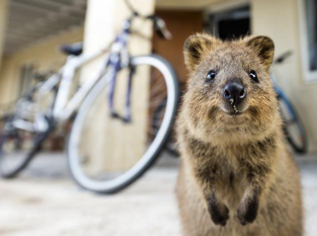 The only member of the genus Setonix Quokka. Page 1