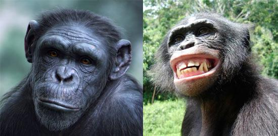 similarities between chimps and orangutans