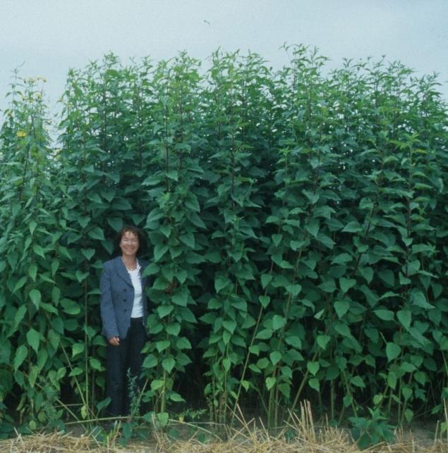 выращиваем топинамбур в больших масштабах одобрил идею