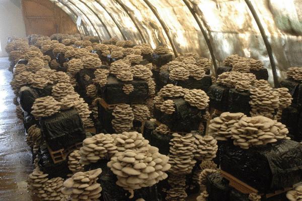Выращивание грибов вёшенок в домашних условиях