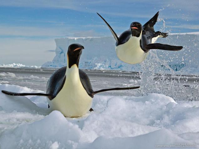How penguins survive the worlds coldest temperatures