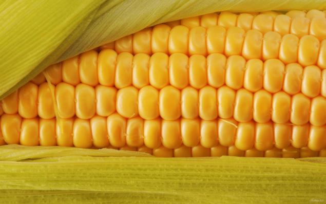 gmo corn Gmo facts what is a gmo genetically modified organisms (gmos) are living organisms whose genetic material has been artificially manipulated in a laboratory through genetic engineering.