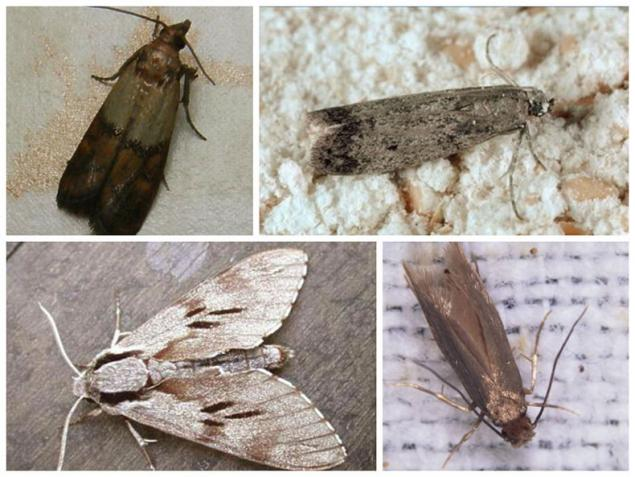 Moths In Kitchen   How To Get Rid Of Moths In The Kitchen Forever Page 1
