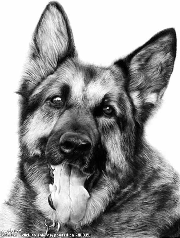 Собаки хаски рисунок