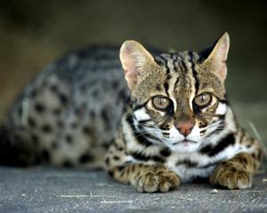 亚洲豹猫_亚洲豹猫:  据专家介绍,这些巨头表现得像普通的家猫:爱睡觉时间越