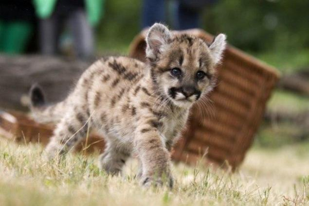 bebe puma