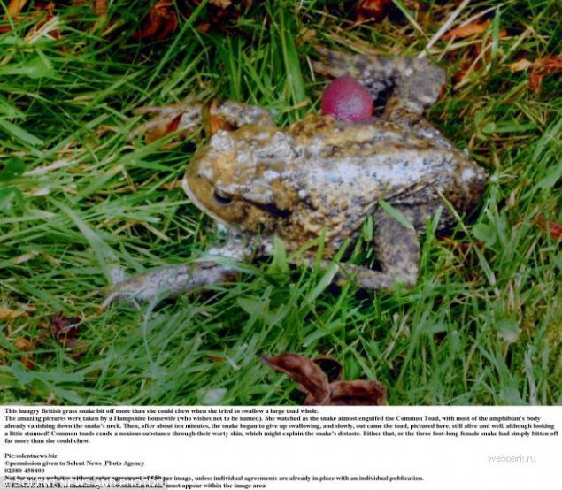 Frog legs  Wikipedia