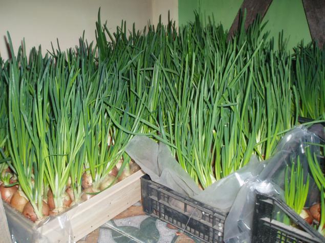 Выращивание зеленого лука на перо 93