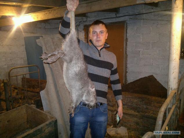 Как поймать крысы в домашних условиях