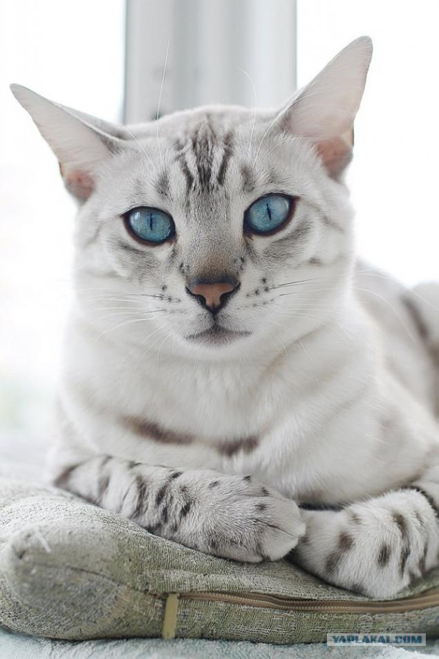 snow white leopard bengal cat