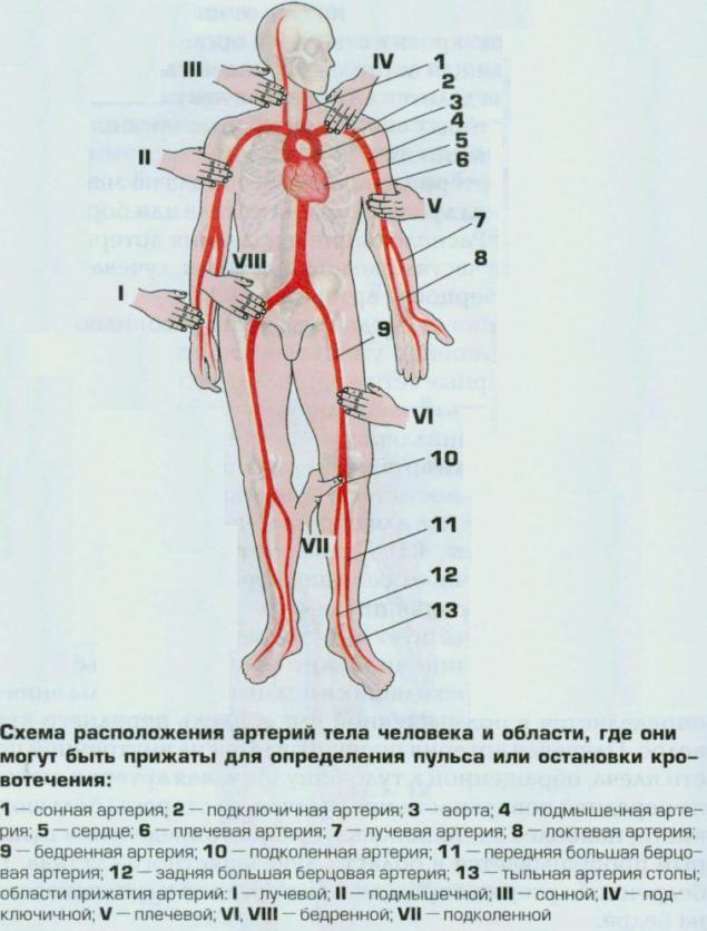 Где на человеке находятся сонные артерии