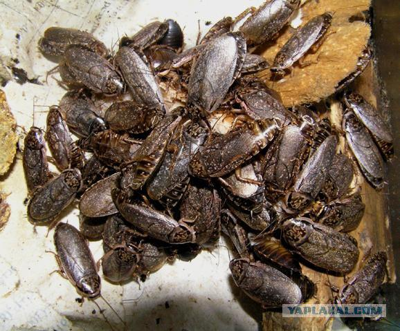 attracting cockroaches with different substances You can use 20 mule team borax for roach killing in your house it is a widely used product that effectively eliminates cockroaches from your house  it can be used .