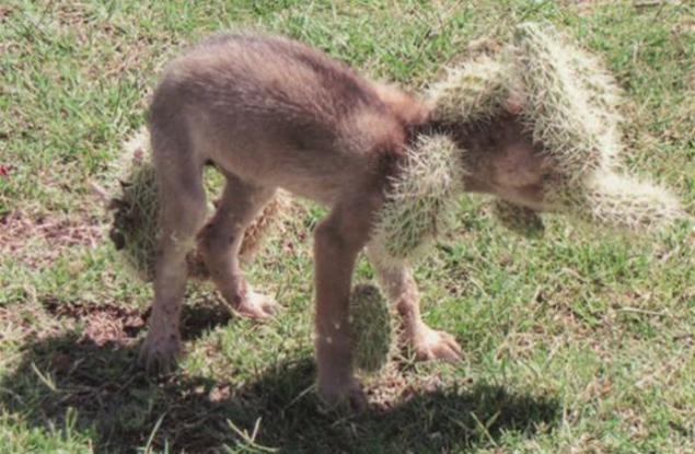 Coyote Cub a punto de morir a causa de la costumbre de cactus
