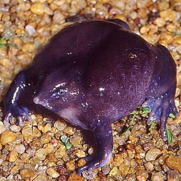 nasikabatrachus sahyadrensis a frog species A new species of purple frog has been discovered from the eastern slopes of the western ghats what makes this exciting to me is the fact that the purple frog (nasikabatrachus sahyadrensis) was the only member of the family nasikabatrachidae and now there's two members of the family.