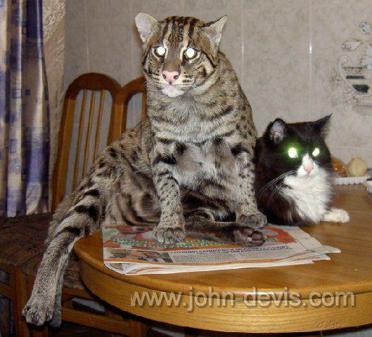 Кот рыболов домашних условиях