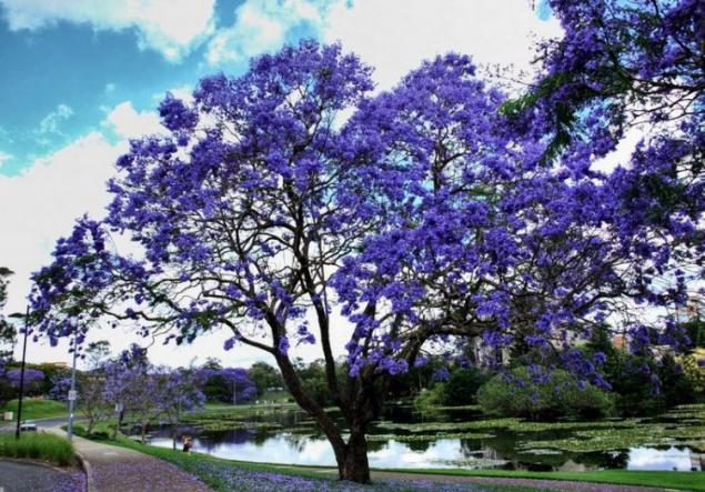 Rbol de jacaranda dando belleza y suerte p gina 1 for Planta ornamental jacaranda