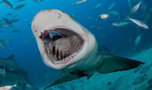 Polynesian Sharks Mouth By Cameron Rutten: Alimentación De Tiburones De Las Manos. Página 1